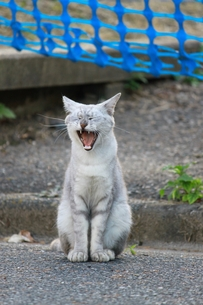あくびをする猫の写真素材 [FYI00448864]
