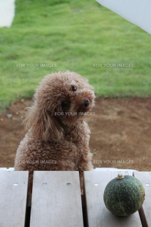 振り向く犬の写真素材 [FYI00448868]
