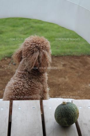 外を見つめる犬の写真素材 [FYI00448884]