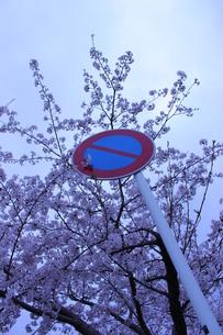 標識と桜の写真素材 [FYI00448893]