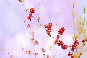 木瓜の花の写真素材 [FYI00449126]