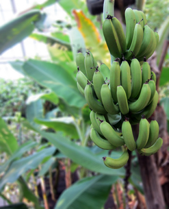 新緑なバナナの写真素材 [FYI00449154]