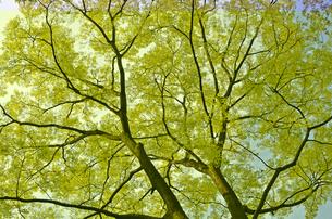 エノキの新緑の写真素材 [FYI00449204]