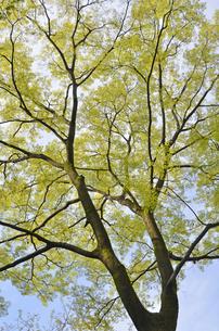 エノキの新緑の写真素材 [FYI00449209]