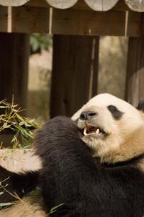 パンダの写真素材 [FYI00449318]