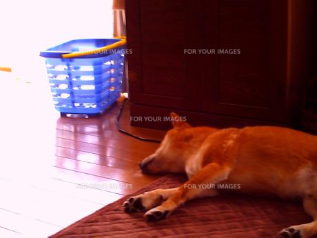 犬のお昼寝の写真素材 [FYI00449587]