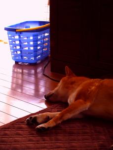 犬のお昼寝の写真素材 [FYI00449596]