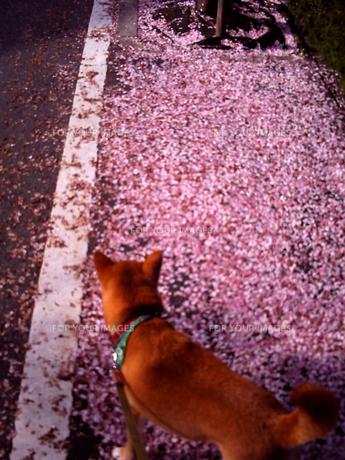 桜の海と犬の写真素材 [FYI00449601]