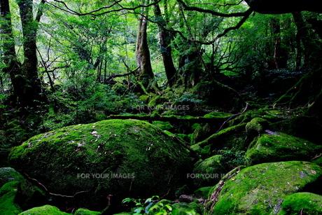 屋久島の森3の写真素材 [FYI00449624]
