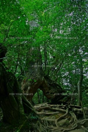 屋久島の森5の写真素材 [FYI00449630]