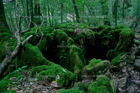 屋久島の森4の写真素材 [FYI00449638]