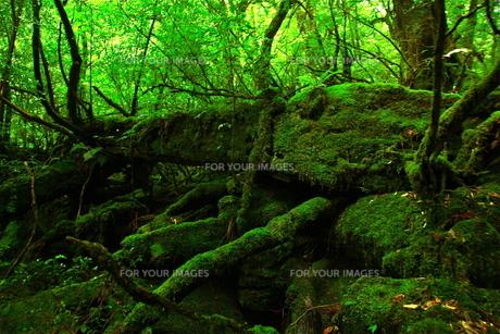 屋久島の森1の写真素材 [FYI00449646]