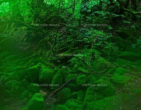 屋久島の森2の写真素材 [FYI00449647]