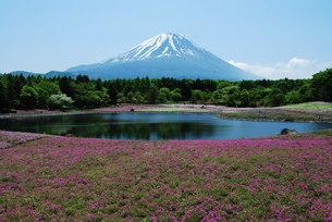 シバザクラと富士山の写真素材 [FYI00449662]