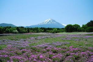 シバザクラと富士山の写真素材 [FYI00449669]