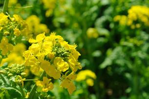 菜の花の写真素材 [FYI00449752]