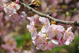 松田町の河津桜の写真素材 [FYI00449755]
