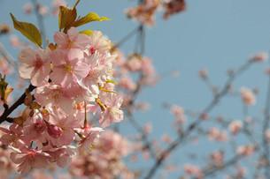 松田町の河津桜の写真素材 [FYI00449757]