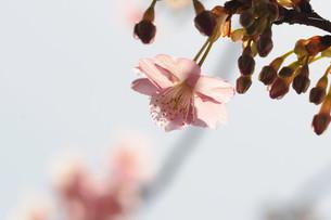松田町の河津桜の写真素材 [FYI00449763]