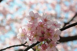 松田町の河津桜の写真素材 [FYI00449764]