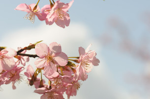 松田町の河津桜の写真素材 [FYI00449765]