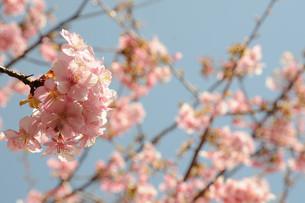 松田町の河津桜の写真素材 [FYI00449766]