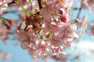 松田町の河津桜の写真素材 [FYI00449768]