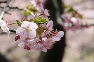 松田町の河津桜の写真素材 [FYI00449777]