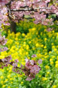 松田町の河津桜と菜の花の写真素材 [FYI00449780]