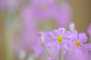 ピンクのサクラ草の写真素材 [FYI00449815]