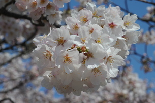 釜の淵公園の桜の写真素材 [FYI00449898]