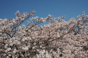 釜の淵公園の桜の写真素材 [FYI00449908]