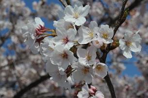 釜の淵公園の桜の写真素材 [FYI00449911]