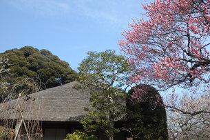 百草園の梅の花と茅葺屋根の写真素材 [FYI00449943]