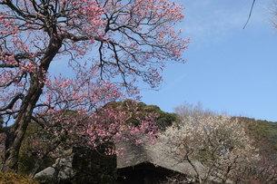 百草園の梅の花と茅葺屋根の写真素材 [FYI00449958]