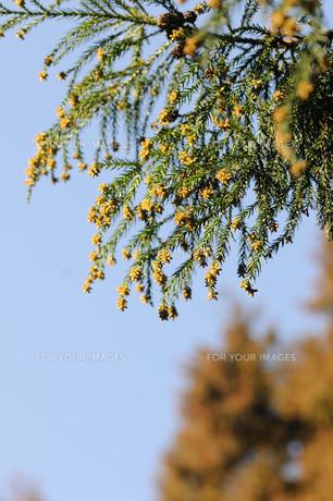 花粉の写真素材 [FYI00449963]