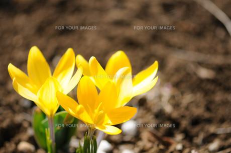 クロッカスの花の素材 [FYI00450005]