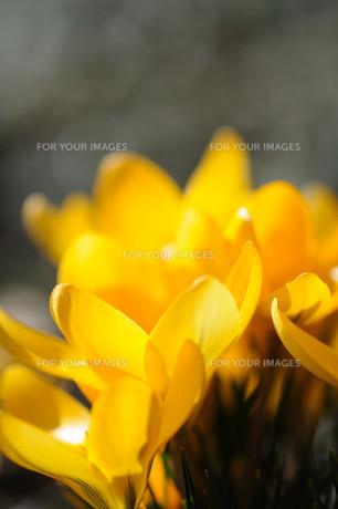 クロッカスの花の素材 [FYI00450009]