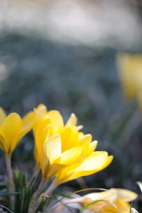 クロッカスの花の素材 [FYI00450012]
