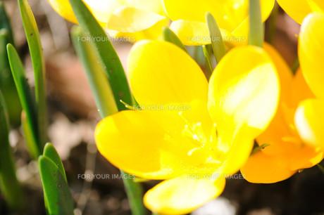 クロッカスの花の素材 [FYI00450017]