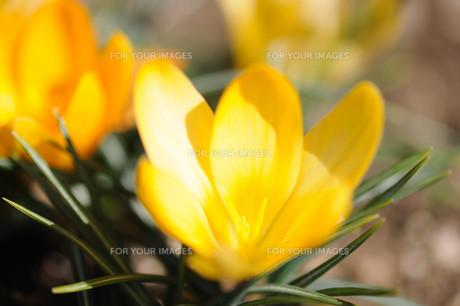 クロッカスの花の素材 [FYI00450018]