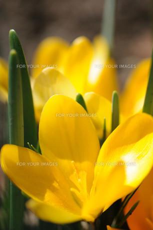 クロッカスの花の素材 [FYI00450021]