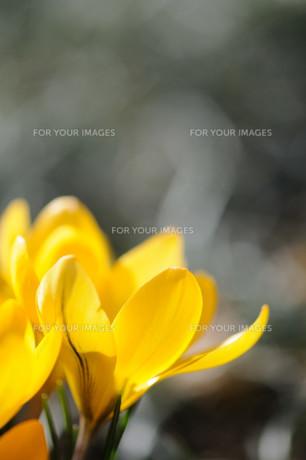 クロッカスの花の素材 [FYI00450023]