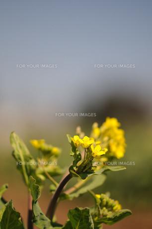 菜の花の素材 [FYI00450062]