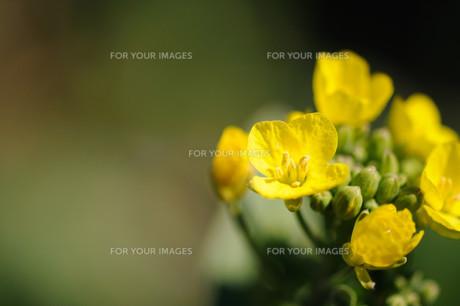 菜の花の素材 [FYI00450065]
