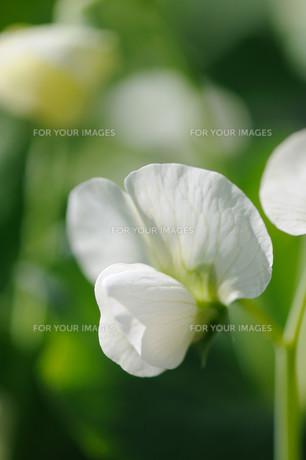 さやえんどうの花の素材 [FYI00450147]