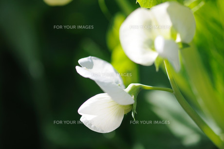 さやえんどうの花の素材 [FYI00450150]