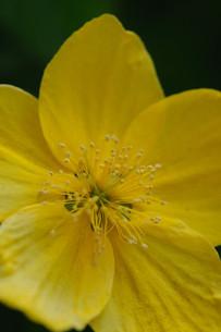山吹の花の素材 [FYI00450237]