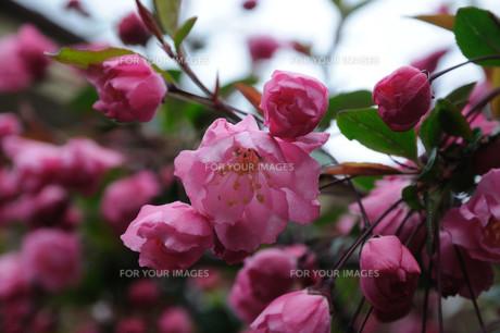 カイドウの花の素材 [FYI00450239]