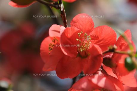 ボケの花の素材 [FYI00450241]